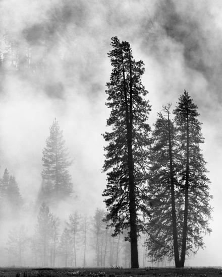 Black And White Misty : Yosemite misty pines black and white stretched canvas
