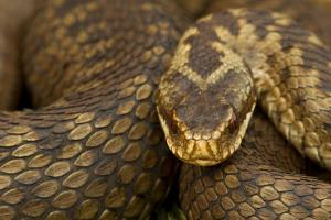 Adder (Vipera Berus) Basking in the Spring, Staffordshire, England, UK, April by Danny Green