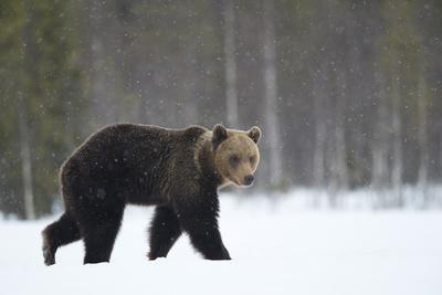 Brown Bear (Ursus arctos) in the snow, Finland, April