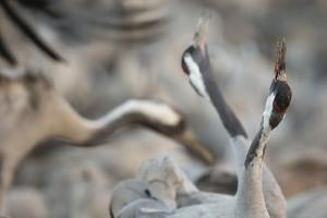 Common Cranes (Grus Grus) Displaying, Hula Valley, Northern Israel, January by Danny Green