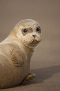 Common Seal (Phoca Vitulina) Pup, Portrait on Sand, Donna Nook, Lincolnshire, England, UK, October by Danny Green