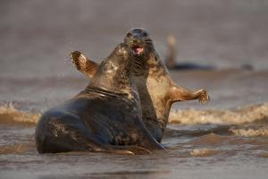 Grey Seals (Halichoerus Grypus) Fighting, Donna Nook, Lincolnshire, England, UK, October by Danny Green