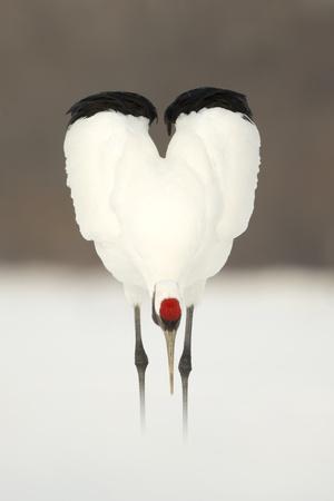 Japanese Crane (Grus Japonensis) Displaying, Wings In Heart Shape, Hokkiado, Japan, February