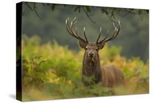 Red Deer (Cervus Elaphus) Dominant Stag Amongst Bracken, Bradgate Park, Leicestershire, England, UK by Danny Green