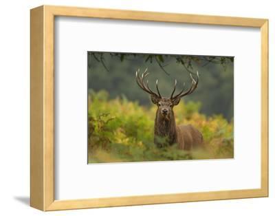 Red Deer (Cervus Elaphus) Dominant Stag Amongst Bracken, Bradgate Park, Leicestershire, England, UK