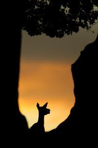 Red Deer (Cervus Elaphus) Silhouette of Hind in Woodland Glade at Sunset, Bradgate Park, UK by Danny Green