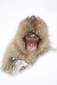Snow Monkey (Macaca Fuscata) in Snow, Nagano, Japan, February by Danny Green