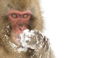 Snow Monkey (Macaca Fuscata) with Snow Covered Paw in Front of Mouth, Nagano, Japan, February by Danny Green