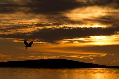 White-Tailed Eagle (Haliaeetus Albicilla) in Flight at Sunset, Norway, August