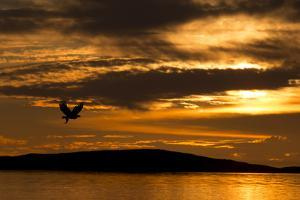 White-Tailed Eagle (Haliaeetus Albicilla) in Flight at Sunset, Norway, August by Danny Green