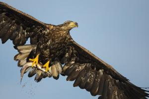 White-Tailed Eagle (Haliaeetus Albicilla) in Flight, Norway, August by Danny Green