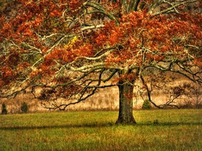 An Oak in the Cove