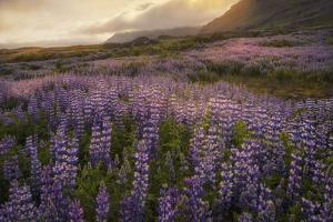 Field of Lupines by Danny Head