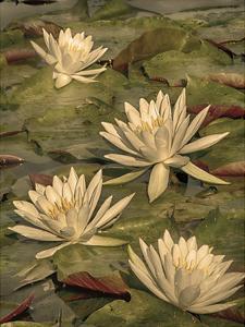 Lotus Dream 1 by Danny Head