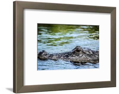 Aligator on Water