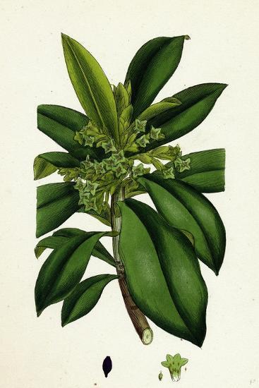 Daphne Laureola Spurge Laurel--Giclee Print