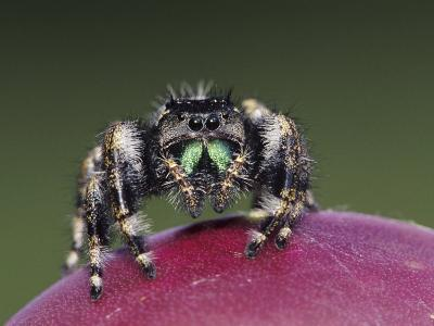 Daring Jumping Spider Adult on Fruit of Texas Prickly Pear Cactus Rio Grande Valley, Texas, USA-Rolf Nussbaumer-Photographic Print