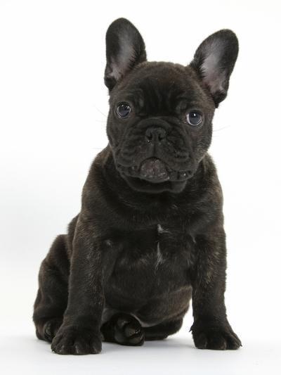 Dark Brindle French Bulldog Pup, Bacchus, 9 Weeks Old, Sitting-Mark Taylor-Photographic Print