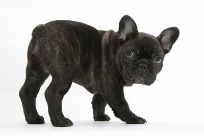 Dark Brindle French Bulldog Pup, Bacchus, 9 Weeks Old-Mark Taylor-Photographic Print