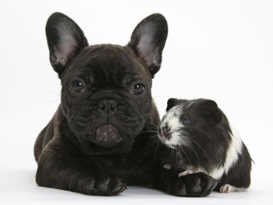 Dark Brindle French Bulldog Puppy Bacchus 9 Weeks With Guinea Pig Mark