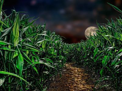 Dark Corn Field--Photographic Print