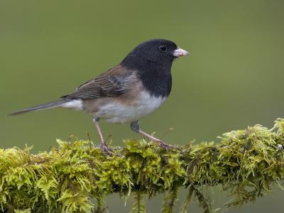 Dark-Eyed Junco (Junco Hyemalis) Perched on a Mossy Branch in Victoria, British Columbia, Canada-Glenn Bartley-Photographic Print