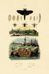 Dark Giant Horsefly, 1833-39