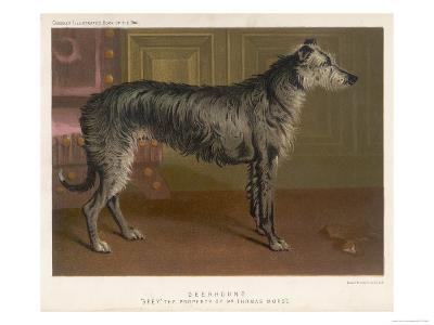 Dark Grey Deerhound Stares Thoughtfully into the Distance--Giclee Print