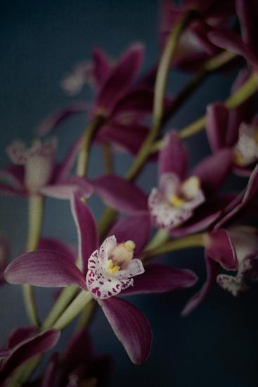 Dark Orchid III-Elizabeth Urquhart-Art Print