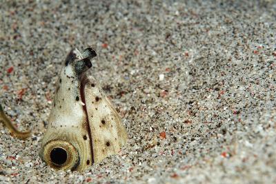 Dark-Shouldered Snake Eel Head in the Sandy Ocean Floor-Reinhard Dirscherl-Photographic Print
