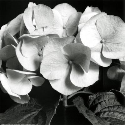 Hydrangea by Darlene Shiels