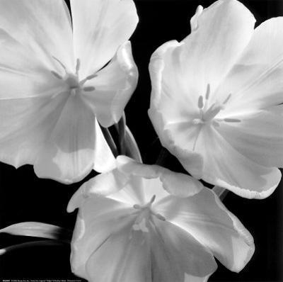 Tulips by Darlene Shiels