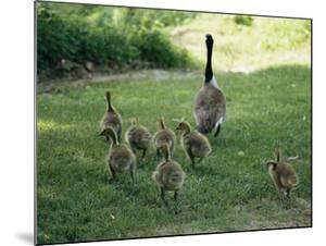 A Canada Goose with its Goslings by Darlyne A. Murawski