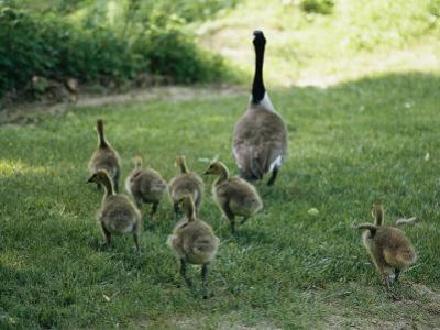 A Canada Goose with its Goslings by Darlyne A^ Murawski