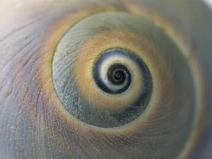 A Close View of a Moon Snail Shell, Lunatia Heros by Darlyne A. Murawski