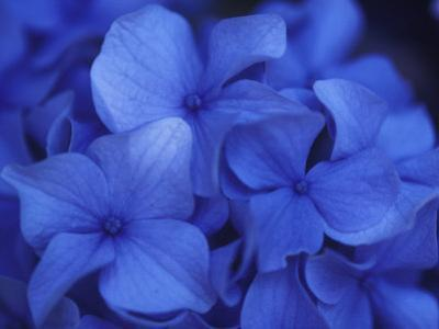 A Close View of Blue Hydrangea Flowers