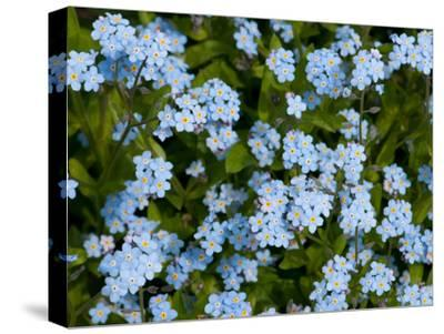 A Cluster of Forget Me Not Flowers, Myosotis Species, in Springtime