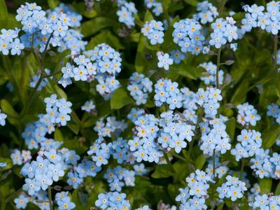 A Cluster of Forget Me Not Flowers, Myosotis Species, in Springtime