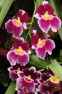 A Cluster of Pink Miltoniopsis Orchid Flowers, Miltoniopsis Species by Darlyne A^ Murawski