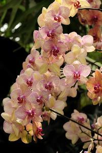 A Display of a Large Cluster of Phalaenopsis Orchids by Darlyne A^ Murawski