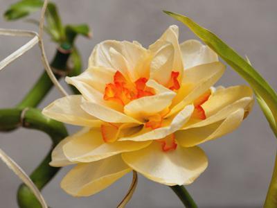 A Large Double Tahiti Daffodil, Narcissus Tahiti, in Spring