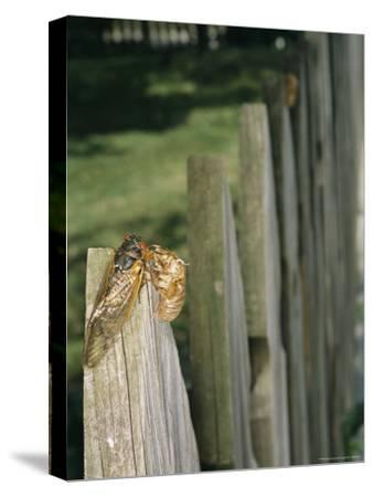 A Newly Emerged Brood X, 17-Year Cicada Next to a Nymphal Exoskeleton