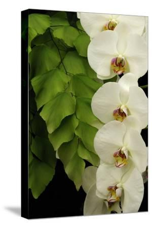 A Raceme of Phalaenopsis Orchids Alongside a Giant Maidenhair Fern