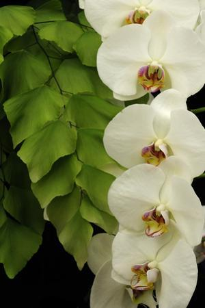 A Raceme of Phalaenopsis Orchids Alongside a Giant Maidenhair Fern by Darlyne A^ Murawski