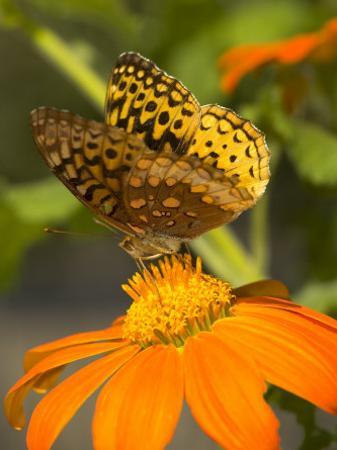 A Skipper-Type Butterfly Feeding on an Orange Flower by Darlyne A^ Murawski