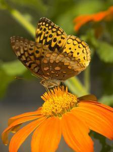 A Skipper-Type Butterfly Feeding on an Orange Flower by Darlyne A. Murawski