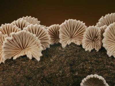 An Array of Common Split Gill Mushrooms