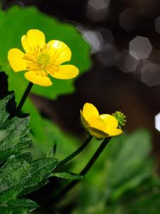 Buttercup Flowers Growing by the Side of a Stream by Darlyne A. Murawski