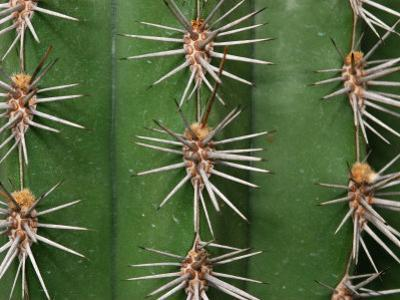 Cereus Cactus Spines Up Close, Providence, Rhode Island by Darlyne A^ Murawski