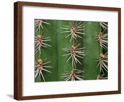 Cereus Cactus Spines Up Close, Providence, Rhode Island